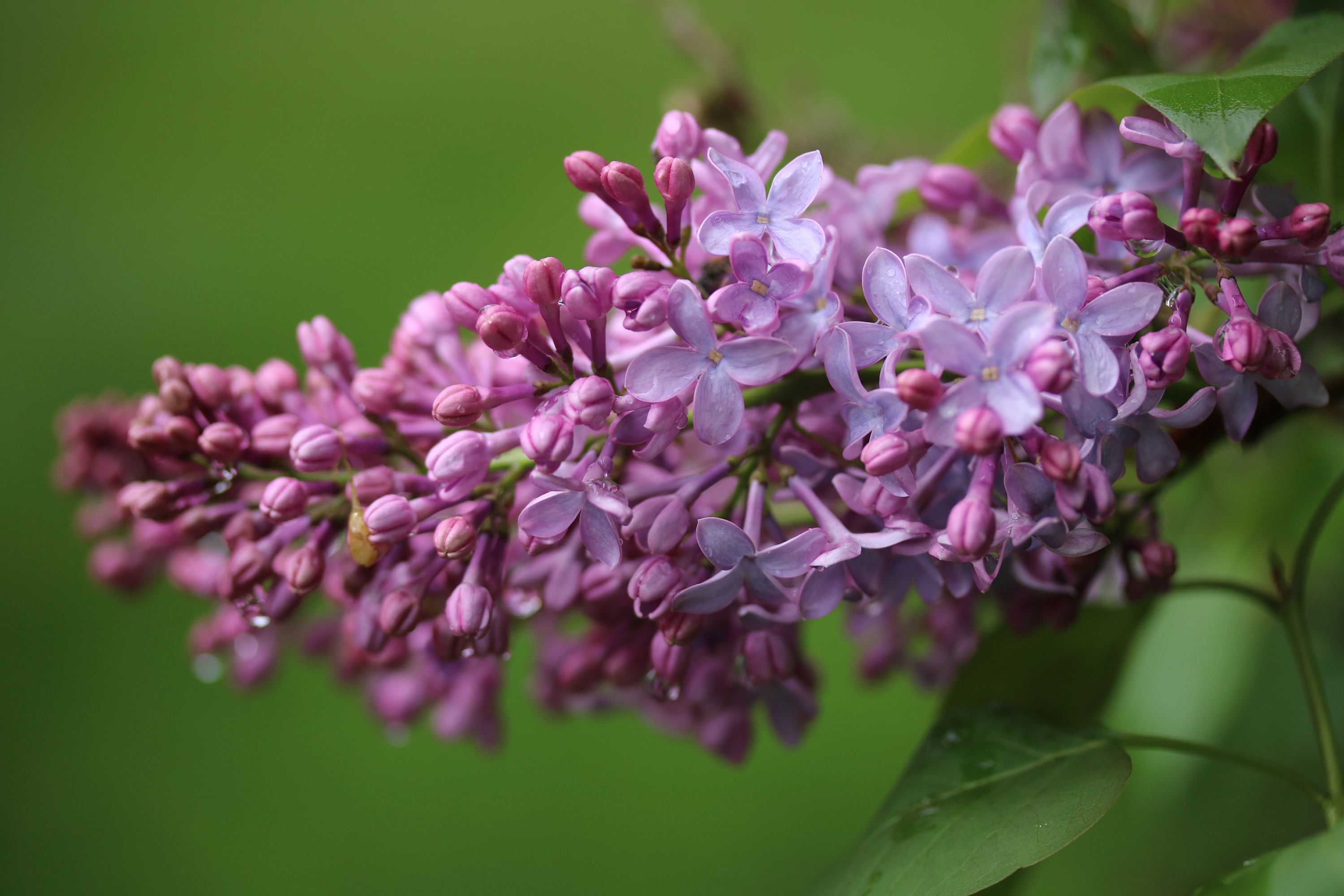 Now Lilacs Are Blooming In March >> Lilacs The Farmhouse Project